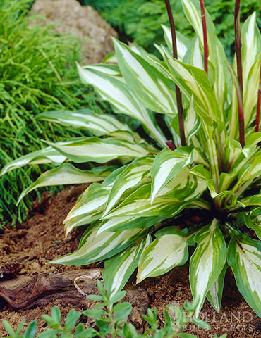 Cherry Berry Hosta - 77280