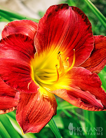 Christmas Is Daylily