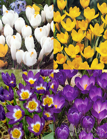 Classic Crocus Collection
