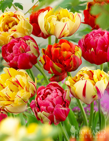 Color Carnival Tulip Mix