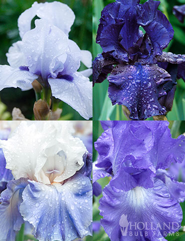 Cool Blue Bearded Iris Collection blue flowers, blue iris, blue bearded iris, light blue flowers, dark blue flowers, true blue flowers, bearded iris rhizomes for sale, bearded iris bulbs for sale, best time to plant iris bulbs