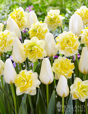 Creamy Eggnog Tulip & Daffodil Blend daffodil flower, tulip bulbs, when to plant daffodils and tulips, daffodils for naturalizing, white tulips, white daffodils, double daffodils, daffodil and tulip bouquet