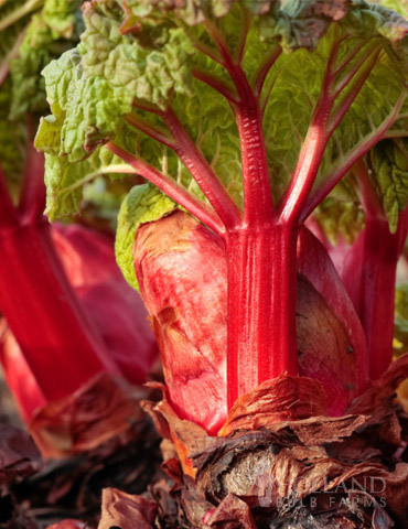 Crimson Red Rhubarb