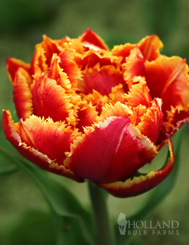 Crystal Beauty Fringed Double Late Tulip