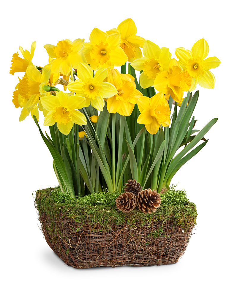 Daffodil Delight Indoor Bulb Garden