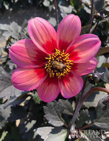 Dahlegria Tri-Colore Dahlia Unique dahlia flowers, pink dahlias, purple foliage dahlias, dwarf dahlias, dahlias for containers