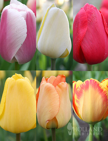 Darwin Hybrid Tulip Collection