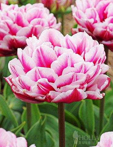 Dazzling Desire Double Late Tulip