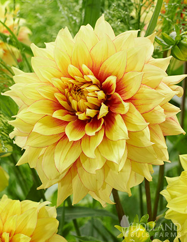 Dazzling Sun Dinnerplate Dahlia dahlias, dahlia retailers, dahlia collection, giant dinner plate dahlias, dazzling sun dinner plate dahlia, yellow dahlias, yellow and red dahlias, dahlia tubers