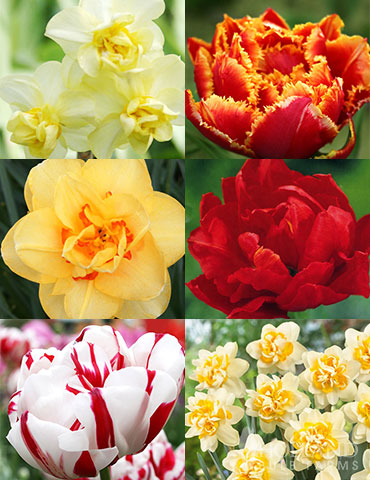 Double Daffodil and Tulip Collection