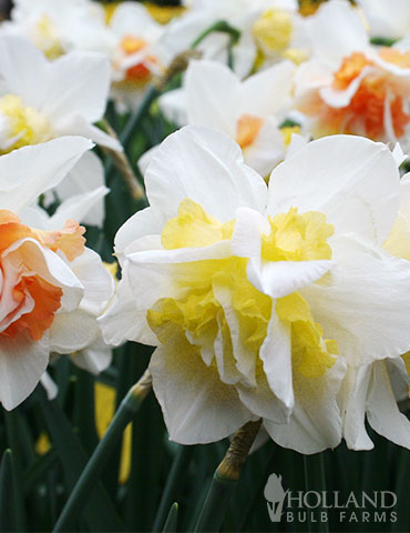 Double Duo Daffodil Mix - 89241