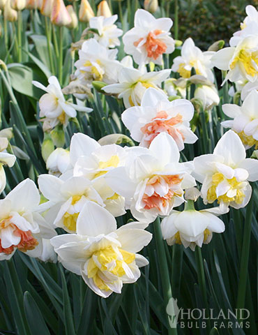 Double Duo Daffodil Mix