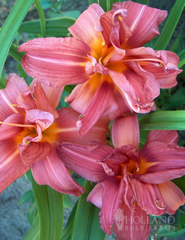 Double Passion Daylily