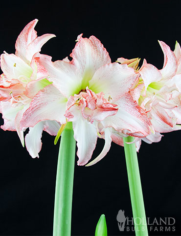 Double Record Amaryllis - 92153