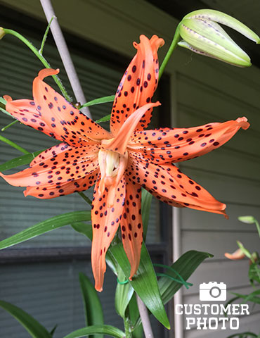 Double Tiger Lily Flore Pleno - 77499