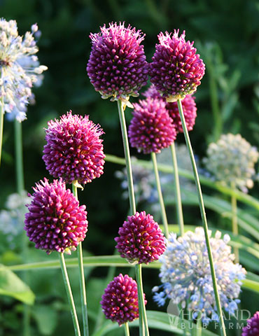 Drumstick Allium allium sphaerocephalon, allium bulbs, drumstick allium leaves, drumstick allium for sale, drumstick allium height, how to take care of allium flowers
