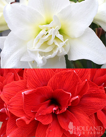 Duchess Double Amaryllis Duo