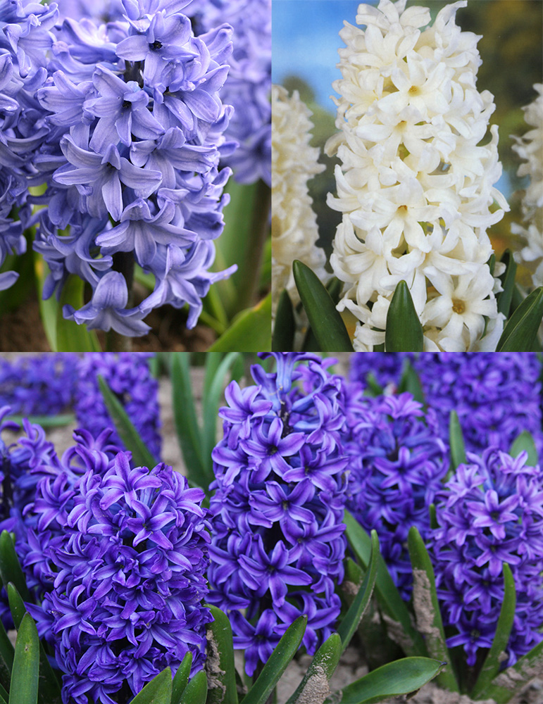 Dutch Blue and White Hyacinth Collection
