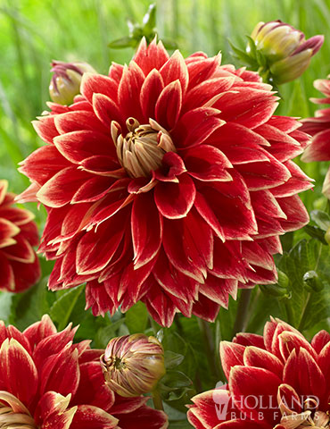 Dutch Carnival Dahlia dutch carnival dahlia, large red flowers, large red dahlias, dahlia addict, dinnerplate dahlia, red dahlia, red and yellow dahlia, flowers that love sun, dahlias for sale