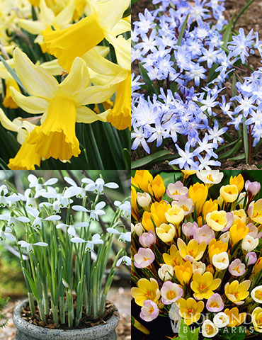 Early Spring Blooms Collection early spring bulbs, spring flowers to plant, first flowers to bloom in spring, fall planted bulbs, crocus bulbs, snowdrops, glory of the snow, miniature daffodils, eary blooming daffodils