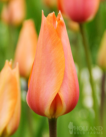 El Nino Single Late Tulip