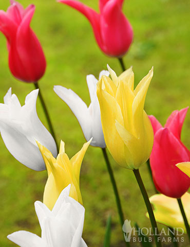 Elegant Lily Tulip Mix tulip bulbs for sale, lily flowering tulips, unique tulips for sale, tulip mixes for sale, mixed tulip bulbs, tulips for planting in fall