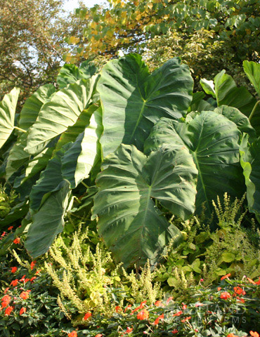 Elephant Ear - Colocasia esculenta