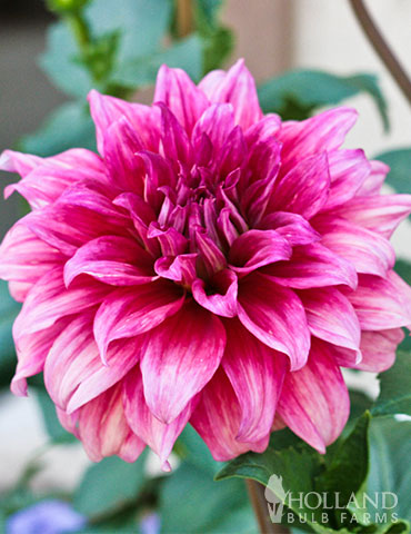 Emory Paul Dinnerplate Dahlia
