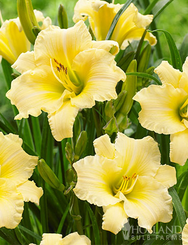 Everydaylily Cream Daylily hemerocallis everydaylilly, daylilies for sale, cream daylilies, light yellow daylilies, white daylilies, hemerocallis everydaylily cerise, everydaylily series