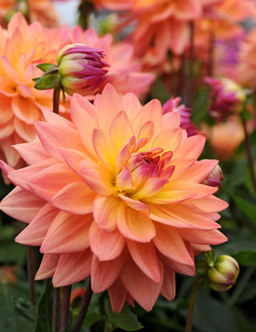 Extase Decorative  Dahlia - 74209
