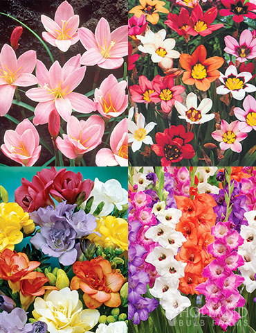 Fairy Flower Collection deals on flower bulbs, flower bulb sale, sale on gladioulus, sale on perennials, buy bulbs online, mini gladiolus, pink fairy lilies, harlequin flowers, freesia bulbs for sale