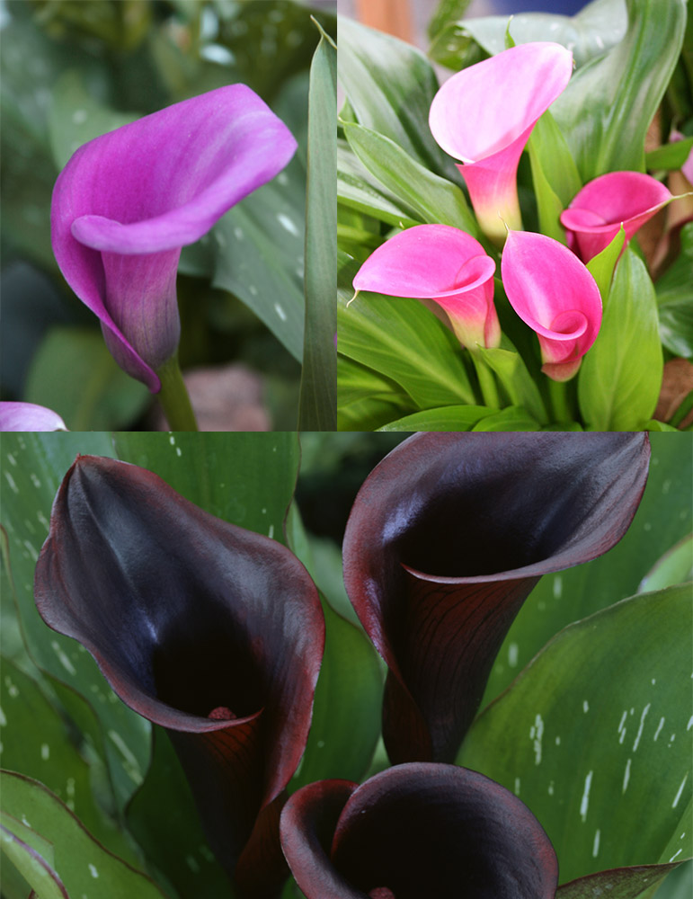 Fairytale Calla Lily Collection - 73142