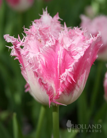 Fancy Frills Fringed Tulip - 88203