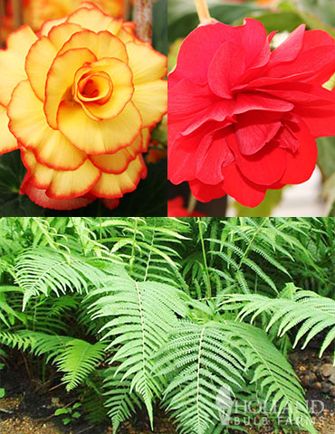 Ferns & Begonias Collection shade garden, ferns, lady ferns, shade plant combinations, begonia companion plants, what to plant with begonias, scarlet begonias, picotee begonias