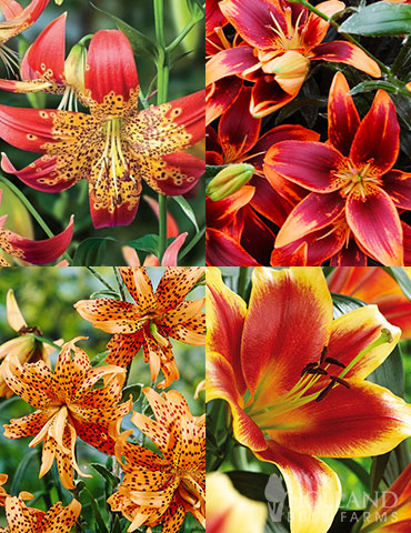 Fiery Hot Lily Collection