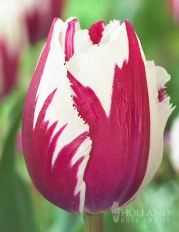 Flaming Baltic Tulip