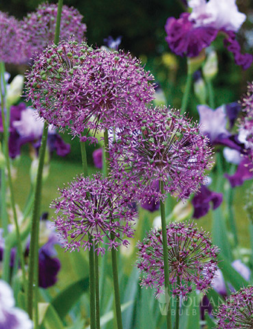 Flowering Onion or Allium Aflatunense
