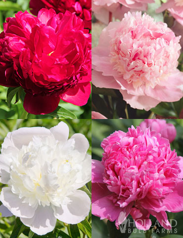 Fragrant Peony Collection - 86174