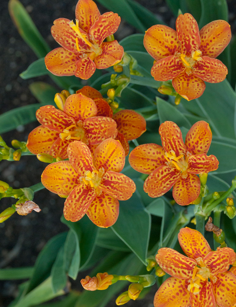 Freckle Face Blackberry Lily