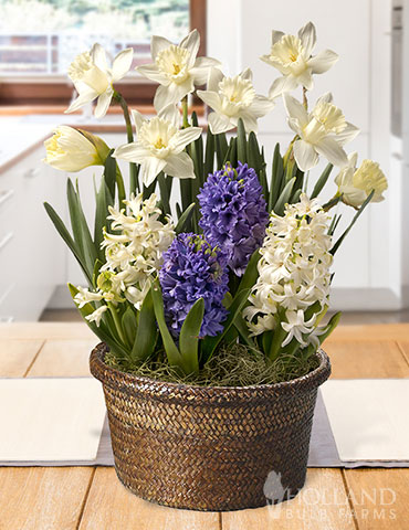 Frosty Delight Potted Bulb Garden indoor bulb garden, potted bulb garden, potted tulip garden, garden gifts, gifts for gardeners, flowering plants indoors, indoor flowers, fragrant hyacinths