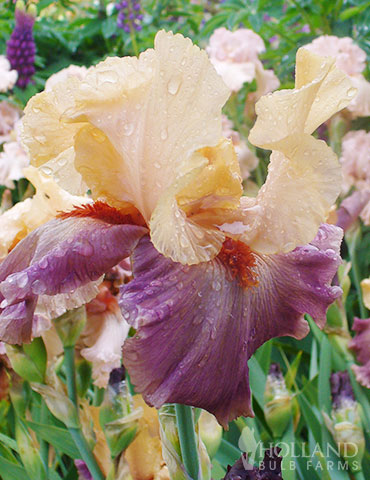 Full of Magic Bearded Iris