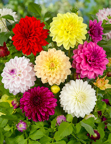 Gallery Mix Dahlias