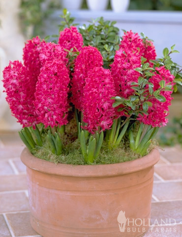 Giant Hyacinth Jan Bos Jumbo Pack - 84106