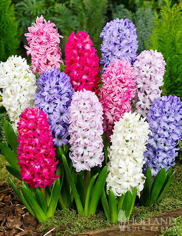 Giant Mixed Hyacinths - 15 bulbs - 84107