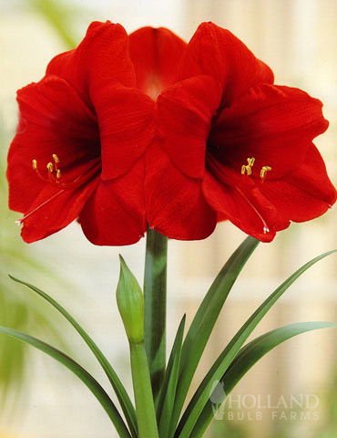 Giant Red Lion Amaryllis Kit