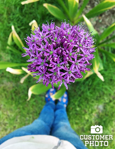 Gladiator Allium - 81133