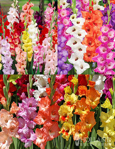 Gladiolus Sampler Special Collection bulk gladiolus, sale on flower bulbs, gardening deals, flowers online cheap, best place to buy bulbs online, Gladiolus bulbs wholesale, wholesale flower bulbs