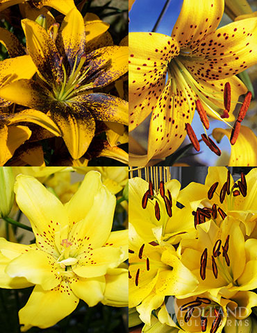 Glowing Sunshine Lily Collection