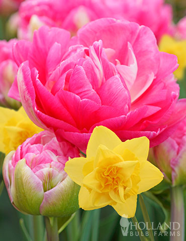 Golden Cotton Candy Tulip & Daffodil Blend double daffodils, pink tulips, daffodil mix, tulip mix, fall bulb mixes, bulb mix