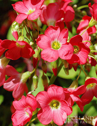 Good Luck Plant Value Pack oxalis bulbs, good luck plant, iron cross bulbs, oxalis iron cross, shamrock bulbs